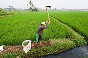 A farmer working on the rice field.  Factories illegally dump toxic wastes into the Citarum River contaminating the water supply and directly impacting the rice paddies of local farmers.  As a result, their rice has much lower quality and many has to sell them for half the normal price. Ciwalengke Village, Kabupaten Majalaya...Credit: Andri Tambunan for Greenpeace