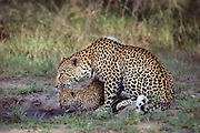 A mother leopard grooms her cub at a small drinking hole during the early morning in summer. Leopards are normally reclusive, and much more active during the night, but the Sabi Sands game reserve is reknowned for good leopard sightings.