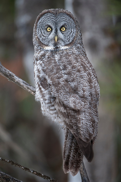 Portrait of a perched great gray owl (Strix nebulosa), Missoula, Montana