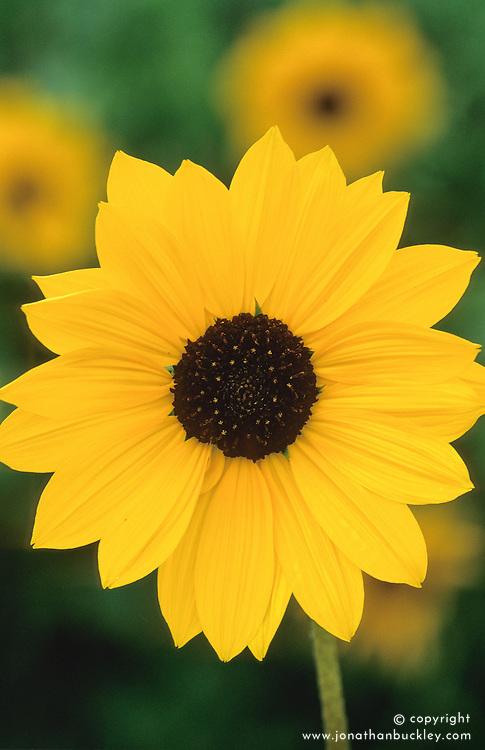 Helianthus debilis subsp. cucumerifolius 'Pan'. Sunflower