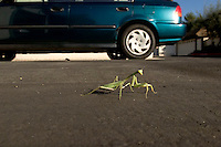 Praying Mantis (Tenodera Sinensis) Waking Across Residential Street, Glendora, California