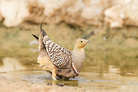 Male Namaqua Sandgrouse soaking belly feathers with water, Kgalagadi Transfrontier Park, Northern Cape, South Africa