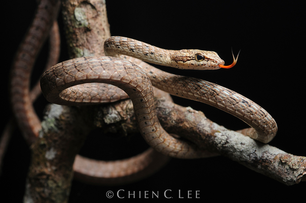 Keel-bellied Vine Snake (Dryophiops rubescens), a lizard-eating arboreal colubrid from Malaysia, Sumatra, Borneo, and Java.