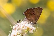 Callophrys augustinus iroides - Brown Elfin