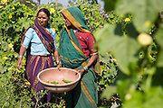 Banubai (left) picking vegetables on their farm in Sendhwa, India.<br /> <br /> Dansingh and Banubai have recently switched to organic farming and have started to invest the money they are saving, by not buying chemicals, in to growing vegetables. These are flourishing with their new found organic techniques and the improved organic environment on the farm.<br /> <br /> Banubai is also investing in water pipes to help irrigate parts of the farm that were difficult to water.