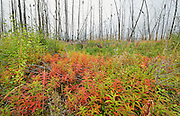 Fireweed in late summer in burn<br /> Gillam Road<br /> Manitoba<br /> Canada