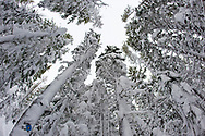 Low angle view of snow covered trees in a forest in Bend, Oregon.