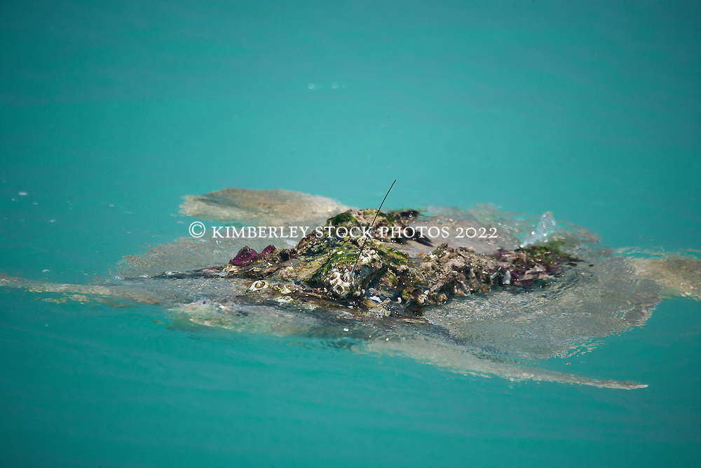 A Flatback turtle (Natator depressus) with a satellite tag attached swims near the surface in Roebuck Bay.  The turtle may have been tagged at Eighty Mile Beach, or Eco Beach, south of Broome, or in the Pilbara.  The turtle carried a heavy incrustation of barnacles on its shell.