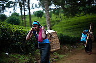 Tea pluckers harvest tea leaves at the the Hollyroad Estates tea plantation near the town of Hatton in central Sri LankaDecember 14, 2009.  Pluckers have a target of picking 16 kilograms of the leaves bu on average pick between 25-28 kilograms which will earn them about $5 per day.
