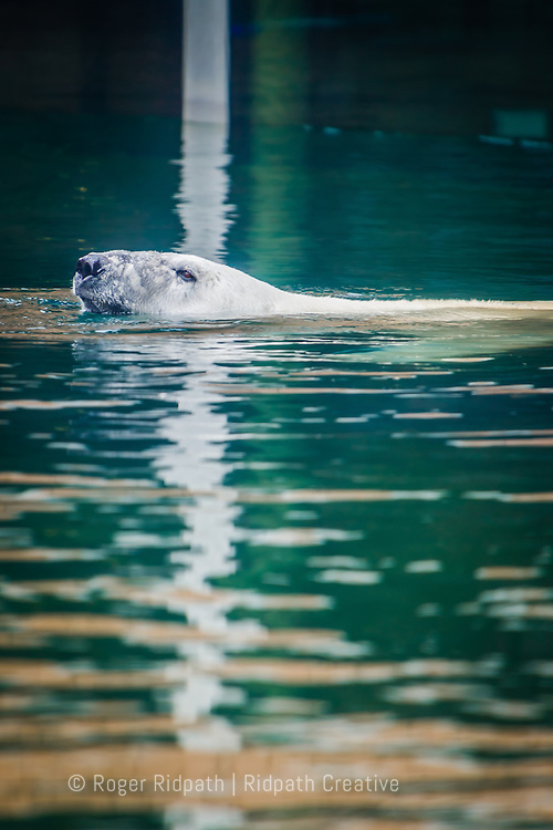 Polar Bear swimming at Kansas City Zoo