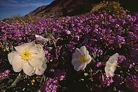 White dune evening primrose in a sea of purple desert sand verbena.