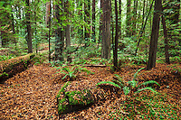 Humboldt Redwoods State Park Near Avenue of the Giants, California