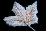 Leaf with rhyme on black background | Rimet løvblad på sort bakgrunn