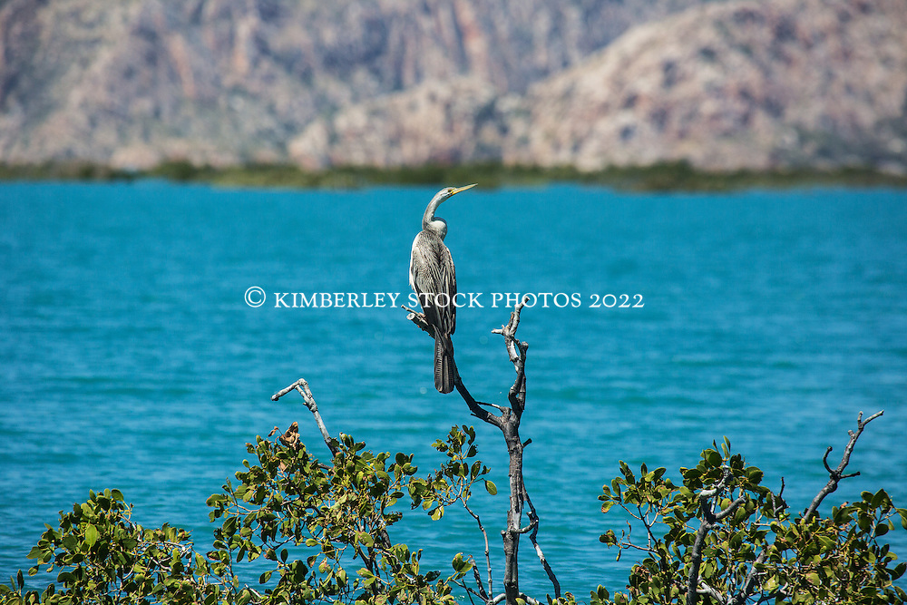 An Australasian Darter  (Anhinga novaehollandiae) rests on a mangrove branch in Dugong Bay on the Kimberley coast.
