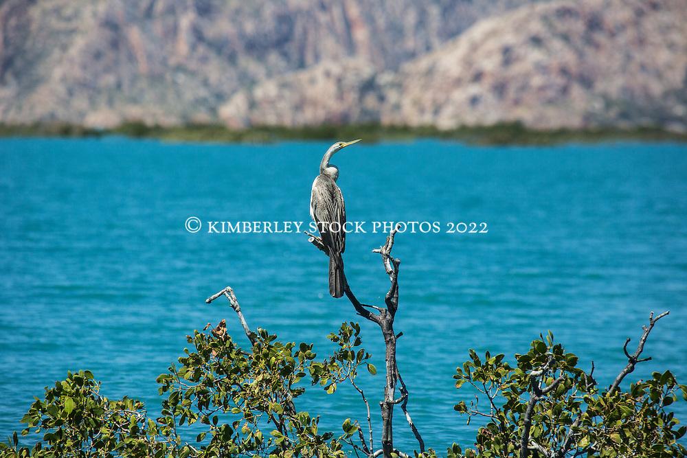 An Australasian Darter  (Anhinga novaehollandiae) rests on a mangrove branch in Dugong Bay on the Kimberley coast.
