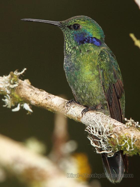 Green Violetear, Colibri thalassinus, on branch, Recinto del Pensamiento, Manizales, Colombia, by Adam Riley