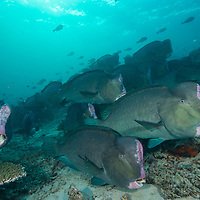 Shoal of Bumphead Parrotfish, Bolbometopon muricatum, Mabul Island, Sabah, Malaysia, Borneo, South China Sea,
