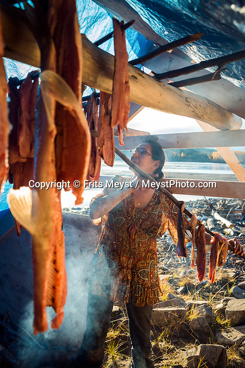 Mayo, Yukon Territory, Canada, September 2014. Drying strips of fish in the smokehouse at the fishing camp.  Band members of the First Nation of NaCho Nyak Dun return to their traditional fishing spot below the Fraser Falls on the Stewart River to fish for Whitefish and Chum . The nation has agreed to not fish salmon for the duration of a full life cycle of the declining species. So few salmon have reached their traditional spawning grounds that they are threatened by extiction.  Photo by Frits Meyst / MeystPhoto.com