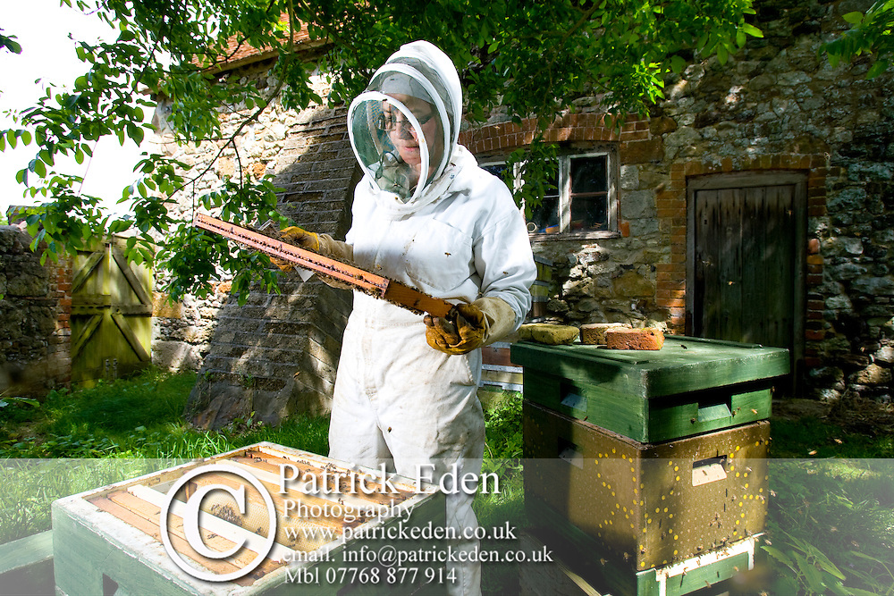 Mary Case, Bee Keeper, Isle of Wight Honey, Limerstone, Isle of Wight, England, UK, .1. A brood frame of worker brood.2. Jumbo Langstroth Polystyrene hive being checked.3. A honey super frame.4. 14 virgin queens in their cage protectors.5. A frame containing pollen and sealed stores.6. A brood frame showing sealed stores.7. Checking a recently hived swarm.8. No sign of laying yet Photographs of the Isle of Wight by photographer Patrick Eden photography photograph canvas canvases