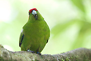 The Red-crowned parakeet or Kakariki (Cyanoramphus novaezelandiae) is endemic to New Zealand but is almost extict on mainland New Zealand due to habitat loss, hunting and predation. In 2010 a relocation programme brought Red-crowned parakeets to Wellington's Karori Sanctuary (Zealandia) which is where this Kakariki calls home.