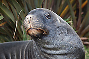 Hooker Sea Lion, Otago Peninsula, New Zealand