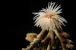 [captive] (Protanthea simplex) on dead tumbled coral strukture Trondheimfjord, North Atlantic Ocean, Norway [size of single organism: 6 cm] | Eine Seeanemone (Protanthea simplex) hat sich auf einem abgestorbenen Korallenbruchstück angesiedelt. Trondheimfjord, Norwegen