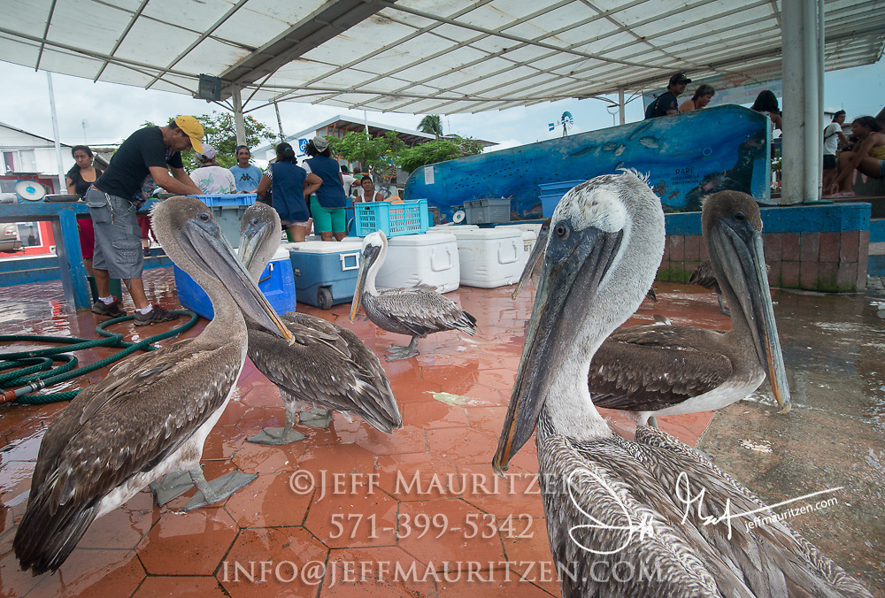 Fish market at Puerto Ayora on Santa Cruz island, part of the Galapagos islands of Ecuador.
