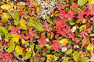 Closeup of tundra fall foliage colors at Thompson Pass in Southcentral Alaska. Morning.