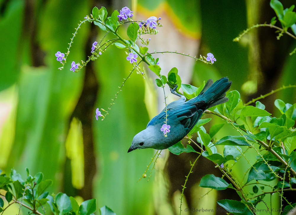 Blue-gray Tanager [Thraupis episcopus] ; Gamboa, Panama
