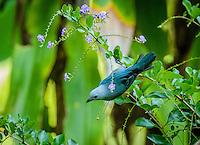 Blue-gray Tanager [Thraupis episcopus] ; Gamboa, Panama