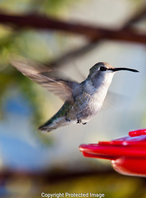 Female Anna's hummingbird preparing to land on feeder near Yuma Arizona