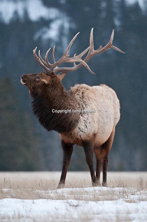 bull elk with attitude glaring