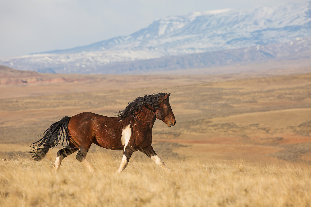 The majestic band stallion, Chiracahua, is always in aggressive pursuit of new mares, especially during spring. He was unsuccessful during this attempt to steal himself some new girls, but I wouldn't count him out yet.