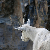 A mountain goat eyes his perferred terrain in Montana.