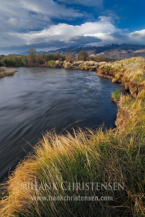 The setting sun lights up the grasses along the bank of the Owen's River, Bishop, CA