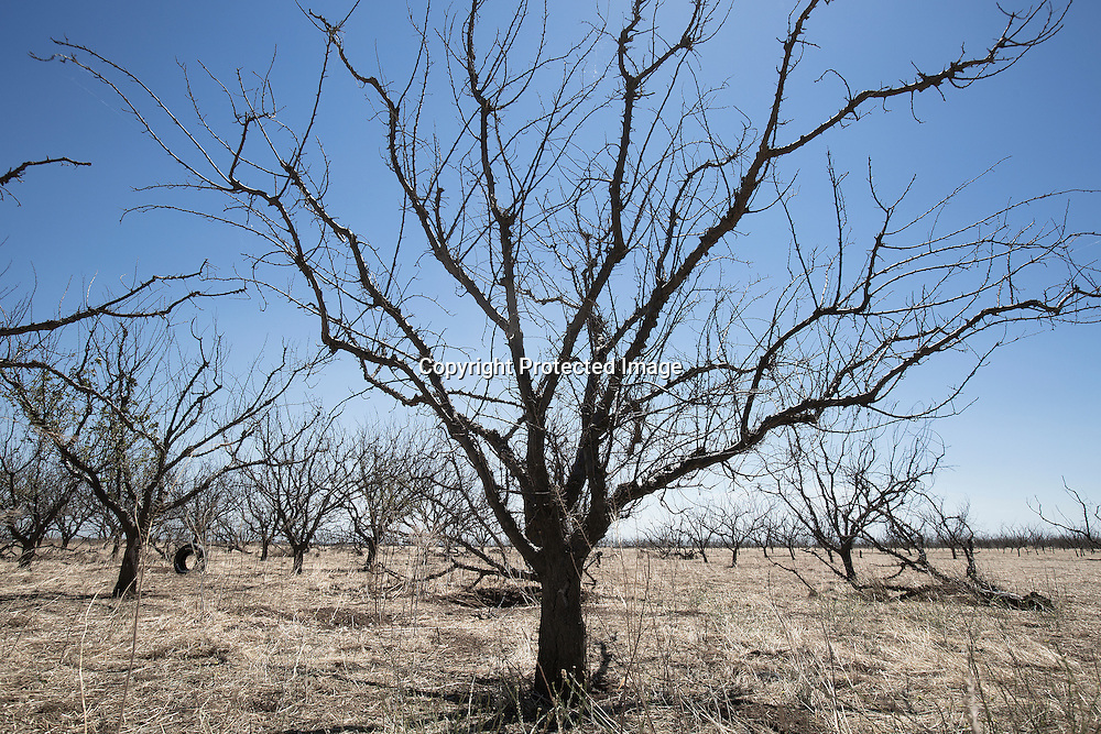 Dead peach orchard due to four years drought and lack of water in Los Banos, Merced County, Northern California.