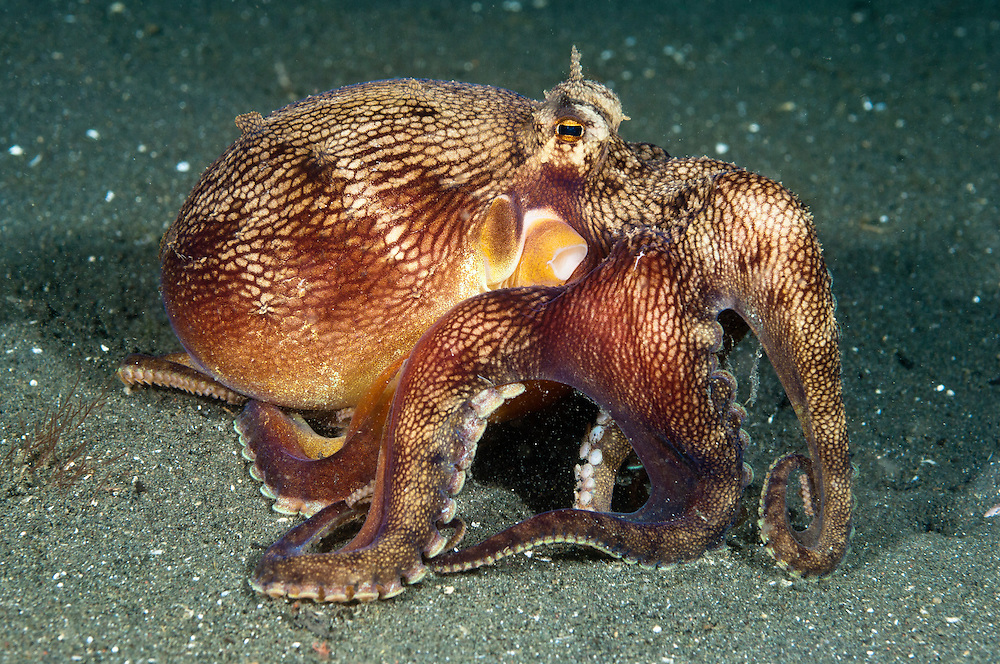Veined octopus, Lembeh Strait, Sulwesi, Indonesia. The Lembeh Strait in N Sulawesi is famous for its unusually high marine biodiversity, particularly of unusual animals that live on the exposed sand areas.
