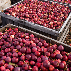 Bins of organic apples at Miller Orchards in East Dummerston, Vermont.  Connecticut River Valley.