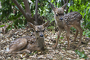 Black-tailed Deer<br /> Odocoileus hemionus<br /> Three-day-old orphaned fawns<br /> Kindred Spirits Fawn Rescue, Loomis, California