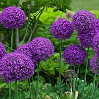 Large purple heads of Ambassador giant ornamental onion (Allium 'Ambassador')