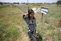 SifSufa - May 5th,  2008 - Raneen Geries, coordinator of the oral history project at zochrot organisation walks around the remains that used to be the village of  Safsaf, Northern Israel 10KM from the Lebanese border, May 5th, 2008. Picture by Andrew Parsons / i-Images