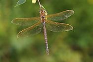 Brown Hawker - Aeshna grandis