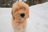 Headshot of doodle puppy in the snow