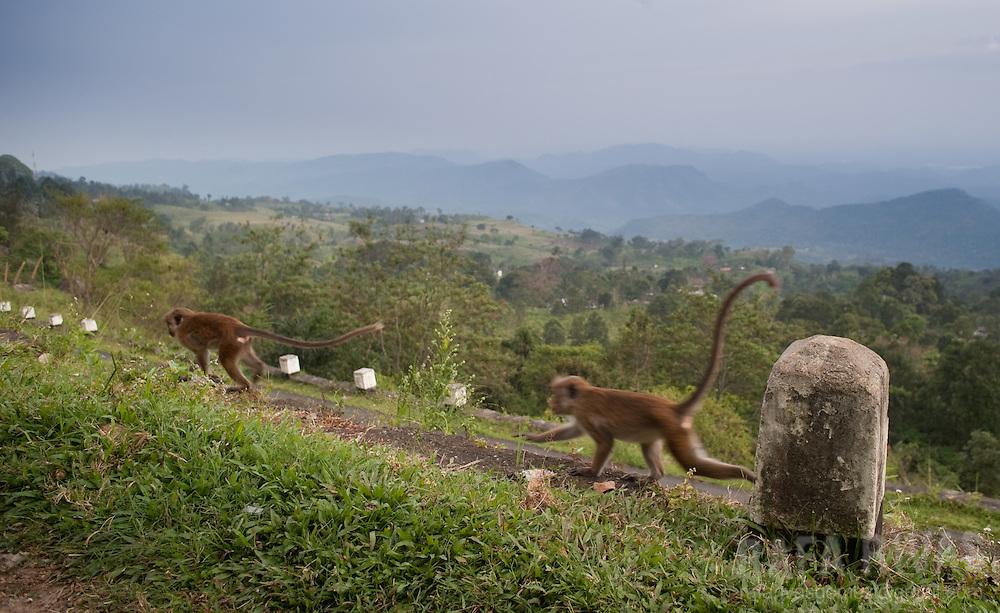 Monkeys run alongside a road in the way to Haputale, Sri Lanka, on February 2011. Photo Rafa Rivas