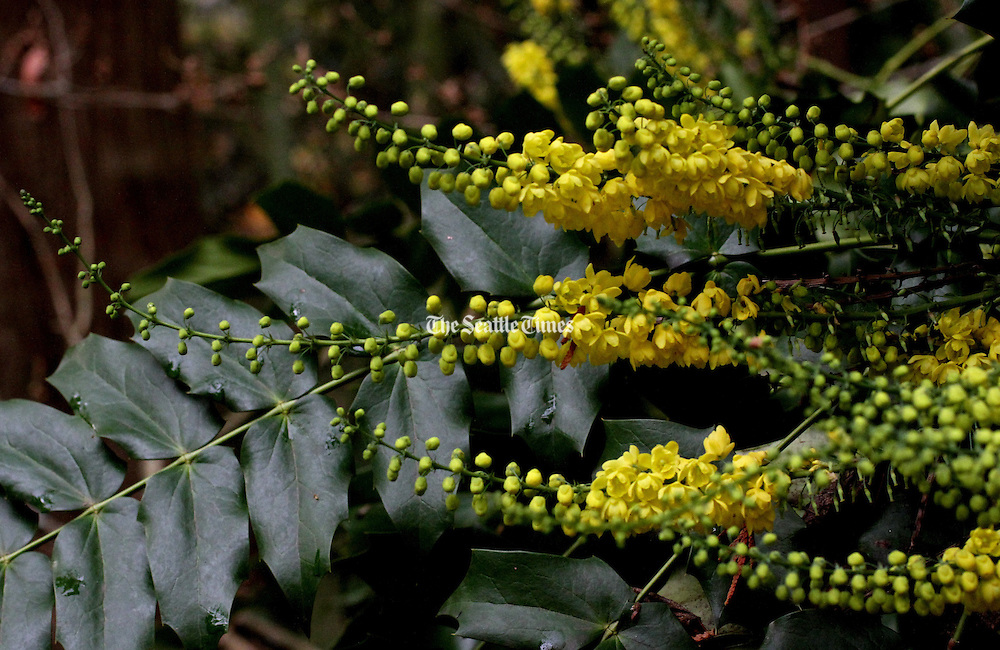 The bright yellow flowers of Mahonia (Berberis) &quot;Arthur Menzies&quot; are frequently visited by resident hummingbirds at the Winter Garden at the Washington Arboretum.<br /> <br /> Alan Berner / The Seattle Times