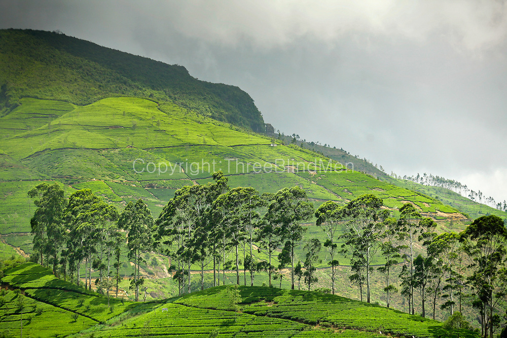 Sri Lanka. Central highlands of Sri Lanka. Tea estate.