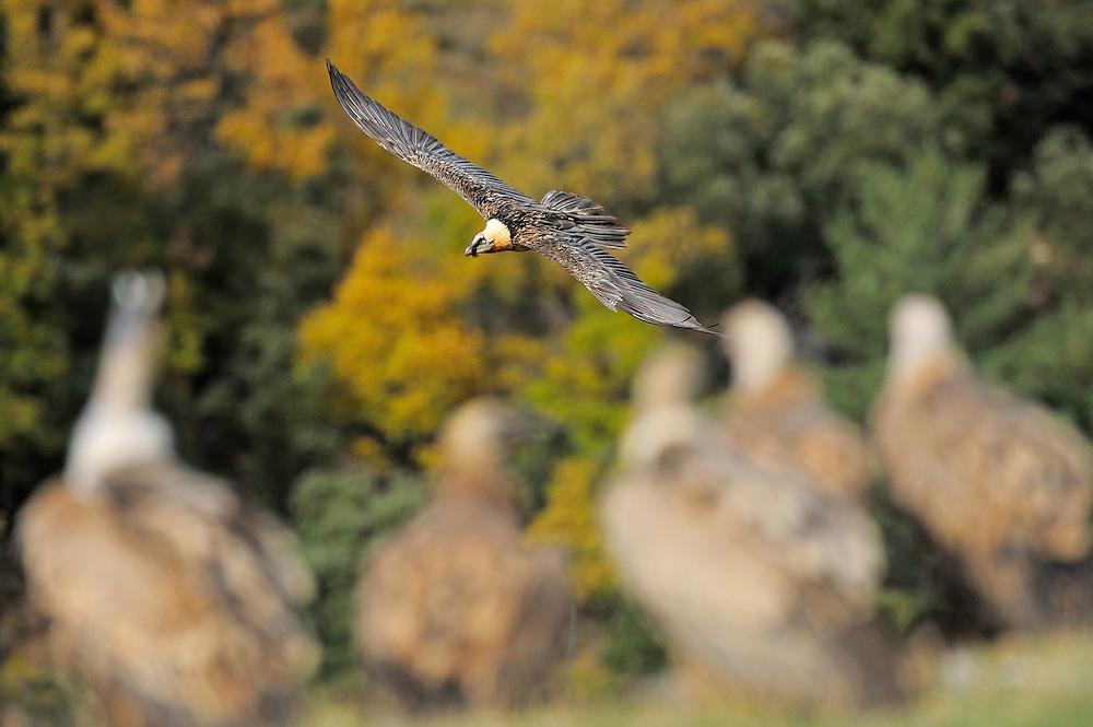 Lammergeier; Gypaetus barbatus; Gåsgam; Gyps fulvus, Serra de Beumort, Gerri de la Sal, Catalonia, Spain.