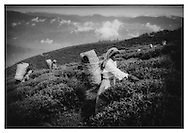 Lepcha tea pluckers, Darjeeling.