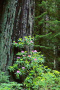 Rhododendron blooming and trunk of giant Redwood tree; Prairie Creek Redwoods State Park/Redwoods National Park, California.