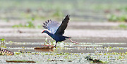 The Grey-headed swamphen (Porphyrio poliocephalus) is a common species of swamphen occurring from the Middle East and the Indian subcontinent to southern China and northern Thailand. <br /> In 2015,  what were previously regarded as six different sub-species of the Purple Swamphen (Porphyrio porphyrio), were reclassified as distinct separate species.